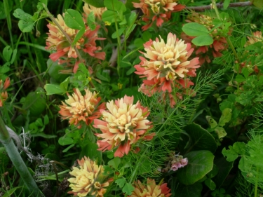 Paintbrush, Castilleja