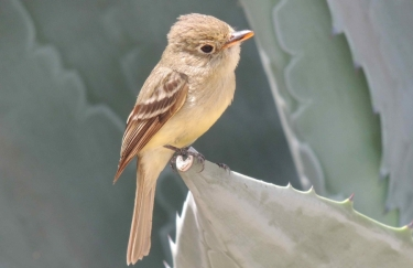 PS Flycatcher Left