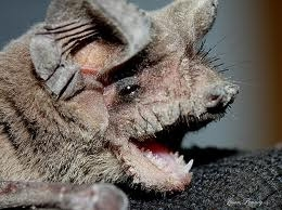 Mexican Free Tailed Bat Face