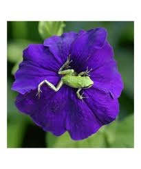 Pacific Tree Frog on Flower