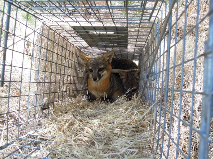 Caught Fox
