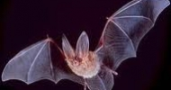 Townsends Big Eared Bat
